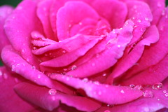 Pink Diamonds (bigbrowneyez) Tags: pink flower macro nature beautiful dedication rose diamonds droplets petals soft bright sweet shimmery gorgeous rich natura fresh precious fragrant romantic lovely delicate joyful sparkly delightful scented bello uplifting fioro pinkdiamonds perfumed bkossom