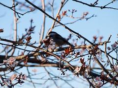 chickadee 20150301 (caligula1995) Tags: chickadee plumtree 2015 plumflowers