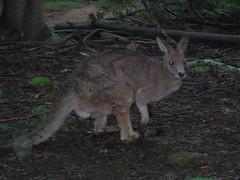Kangaroo Posing