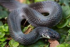 Ninia atrata (Shannon Bowley (TheTyro)) Tags: ecuador nocturnal snake ninia colubrid mindo atrata