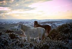 Dartmoor Ponies (sparksy2k14) Tags: sunset horses snow canon landscape eos devon 7d dartmoor dartmoorponies