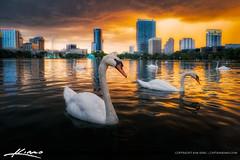 Swan at Lake Eola Park Orlando Sunset (Captain Kimo) Tags: sunset orlando swan florida lakeeola orangecounty lakeeolapark hdrphotography hdrsoftware orlandoskyline captainkimo lovefl aurorahdr
