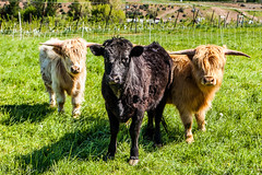 Charlie's Angels (Culinary Fool) Tags: cow washington farm pasture april wa steer highlandcow 2016 culinaryfool scottishhighlander tieton 2470mm28 brendajpederson tietoncreamery