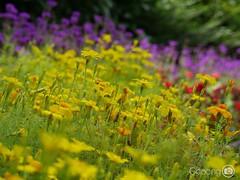 Hello Monday! (choong mun) Tags: flowers red summer green yellow leaf purple outdoor panasonicdmcg7