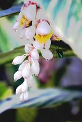 bzzzz (mara.arantes) Tags: flowers plant flower macro rain digital garden leaf drops nikon flickr blossom pastel flor beetle