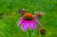 Butterfly Pt. 1 - Multicolor (Jordan David Photography) Tags: pink flower macro nature butterfly garden insect cone coneflower multicolor