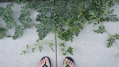 Oh my, how you've grown! (MDawny72) Tags: green fruit garden gardening july watermelon mygarden homegrown greenthumb 2016 myhappyplace watchmygardengrow