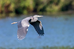 Grey heron (GaseousClay1) Tags: greyheron ardeacinerea avian bird nature wildlife uptonwarren thechristophercadburywetlandreserve worcestershirewildlifetrust plumage habitat birdinflight