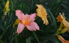 Center of Attention (BKHagar *Kim*) Tags: bkhagar lily bloom flower blossom garden yard moms lilies outdoor tanner al alabama