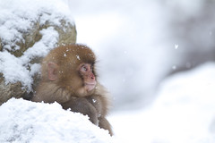 Snowy Baby (Masashi Mochida) Tags: baby snow animal japan monkey wildlife nagano inter jigokudani snowmonkey