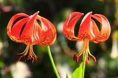 Michigan lilies at Chipera Prairie IA 854A2250 (lreis_naturalist) Tags: county michigan reis iowa lilies larry prairie winneshiek chipera