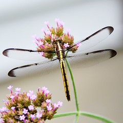 Dragonfly Mid Atlantic