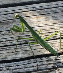 European Mantid (1) (Neil DeMaster) Tags: nature mantis insect prayingmantis mantid europeanmantid