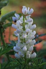 White Flower Macro (hbickel) Tags: whiteflower macrolens macro canont6i canon photoaday pad