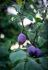plum tree (beppelena) Tags: plums plumtree fruit foodphotography nature summer crop garden leaf plant elenabottaphotography