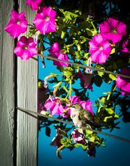 The Little Hummingbird (Wild Birdy) Tags: mn minnesota archilochuscolubris rubythroated hummingbird bird aba usa cute bokeh flower flowers