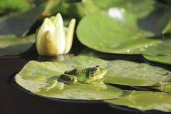 Cuteness (A.D.R.I.A.N.) Tags: flowers light sunlight flower cute green water pool leaves animal animals leaf spain waterlily little frog frogs cuteness