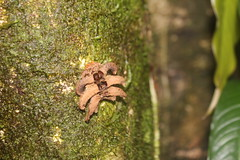 IMG_0854 (J_turner6) Tags: costa rica insects arthropod spider caterpillar millipede flat tree frog