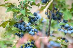 Blue Berries (Allison Mickel) Tags: nikon d7000 adobe lightroom edited cappadocia berries goreme museum plants turkey tourism