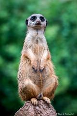Erdmnnchen / Meerkat (Doris & Michael S.) Tags: tiergarten erdmnnchen zooleipzig sonyilcaalpha77ii tiere tamronsp150600mm animals fuchsmanguste meerkat sonyilca77m2 yellowmongoose zoo