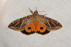 Eudocima apta (Fruit-piercer Moth) Hodges # 8543 - Costa Rica (Nick Dean1) Tags: eudocimaapta noctuidae fruitpiercer hodges8543 hodges 8543 costarica lakearenal lepidoptera animalia arthropoda arthropod hexapoda hexapod insect insecta moth