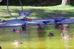 patos2 (Eneko Castresana Vara) Tags: ducks doves pond palomas patos estanque hdr
