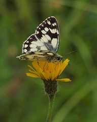 2016_06_0822 (petermit2) Tags: marbledwhitebutterfly marbledwhite butterfly brockadale northyorkshire yorkshire yorkshirewildlifetrust ywt wildlifetrusts wildlifetrust