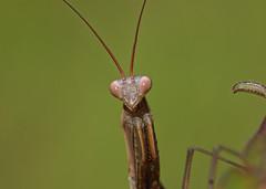 Mantis Macro (phl_with_a_camera1) Tags: michigan nature outdoors closeup detail insect macro mantis mantid praying eyes