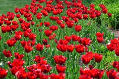 Canada 2016  Niagara Falls  Tulips (Michiel2005) Tags: tulip tulp bloem flower niagarafalls canada ontario usa