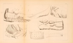 zeitschriftderd141862deut_0829 (kreidefossilien) Tags: schlter crustacea decapoda cenomanian cretaceous turonian santonian northrinewestphalia
