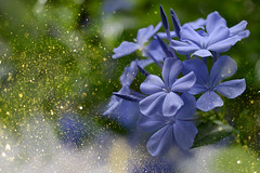 "---""aZure""--- (C-Smooth) Tags: plumbago flowers azure macro garden plumbaginaceae stefanocabello"