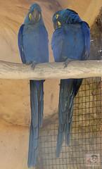 Parque das Aves - Foz do Iguau (Paulo Guereta) Tags: araras arcoris argentina aves brasil buda cachoeiras caratastardoiguabrasil cataratas cataratasdoiguazuargentina cataratasdoigua cidaddeleste cidadedoleste divisabrasilxargentinaxparaguai fozdoigua hidroeltricadeitaip icebar igua itaip itaipbinacional marcodas3fronteiras mesquitamulumanica paraguai parquedasaves parquenacionaldoigua pauloguereta puertoiguazu quedasdagua templobudista trplicefronteira tucanos