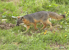 ISLAND FOX (sea25bill) Tags: islandfox animal mammal wildlife nature santacruzisland morning sun california