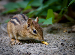 Chipmunk (H.B. Sim) Tags: toronto highpark ontario outdoor outdoors outside fauna animal animals subject closeup hbsim tamron18200mm tamron nikond3300 nikon d3300 depthoffield dof chipmunk rodent portrait mammal
