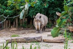 3O4A1767 (zcmcclary) Tags: louisvillezoo rhino rhinoceros animal v