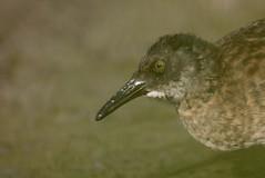 rle d'eau ( Rallus aquaticus ) Erdeven 160811zb2 (pap alain) Tags: oiseaux chassiers rallids rledeau rallusaquaticus waterrail erdeven morbihan bretagne france