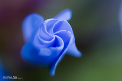 unfurling - Entfaltungsmglichkeiten (Christiane Reeg) Tags: 2016 august blau bleiwurz blue flowers garden plumbago