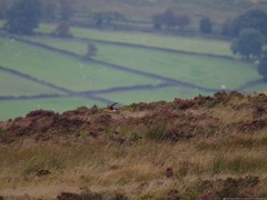 pallid harrier sighting peak district 9 sep 2016 3.30pm (Simon Dell Photography) Tags: hen harrier sighting 9 sept 2016 peak district moor longshaw supprise view suprise cliff edge derbyshire sheffield simon dell photography pallid sep 330pm mega