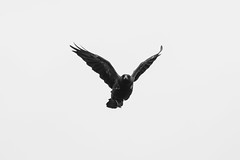 Carrion Crow  |  Rabenkrhe (abritinquint) Tags: bw blackwhite rabenkrhe carrion carrioncrow crow bird vogel natural wildlife nature wild nikon d750 telephoto 300mm pf f4 300mmf4 300f4 nikkor teleconverter tc17eii pfedvr germany