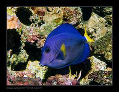 PDORxanthurum5185 (kactusficus) Tags: aquarium captive marine reef fauna fish coral paris france palais portedore doree tropical tropicaux surgeonfish acanthuridae chirurgien tang blue zebrasoma xanthurum redsea merrouge