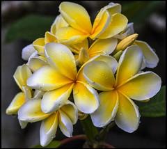 Raindrops fall on the Frangipani Flowers-7=