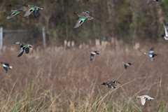 Leucistic Green-winged Teal (gregpage1465) Tags: bird nature photography photo duck texas greg teal wildlife picture page marsh waterfowl cattail greenwingedteal anascrecca leucistic greenwinged leucism gregpage