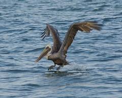 Lift-off! (jmaxtours) Tags: ocean usa gulfofmexico gulf florida flight pelican stpetebeach stpetebeachflorida