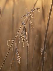Toujours à découvrir ** (Titole) Tags: frost grasses frosted graminée unanimouswinner friendlychallenges thechallengefactory titole nicolefaton