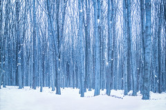 white snow tree forest snowwhite 雪 moldova 樹 森 林 снег 初雪 молдова モルドバ キシナウ みちえる michieru ミチエル