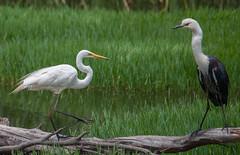 White-necked Heron (Ardea pacifica) and great egret (Ardea alba)-2 (rawshorty) Tags: birds australia canberra act jerrabomberrawetlands rawshorty