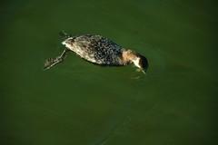 Horned Grebe (EmperorNorton47) Tags: california winter bird digital photo afternoon waterfowl huntingtonbeach grebe hornedgrebe podicepsauritus bolsachicaecologicalreserve helldiiver