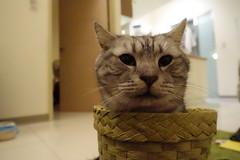 20150113-12 (Felix the Bear) Tags: cat kitty 貓 貓咪 yammy 美國短毛貓 美短