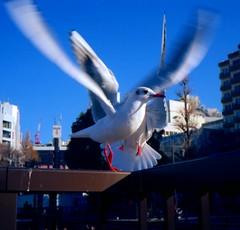 (shall we dance here?) (Dinasty_Oomae) Tags: tokyo ueno seagull  konica  taitoku  sinobazunoike      konical i