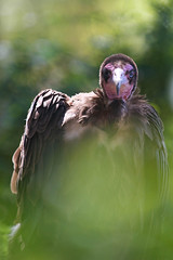 Vulture. (LisaDiazPhotos) Tags: park nature zoo san wildlife conservation diego safari animalportrait lisadiazphotos sandiegozooglobal